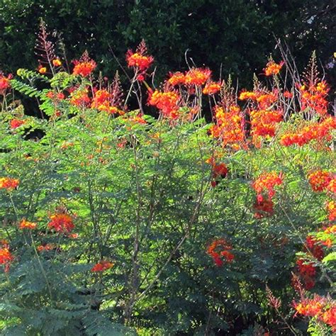 Mexican Bird of Paradise   Budget Plants