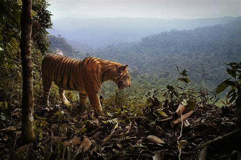 Sumatran tigers fall 17 per cent and have just two