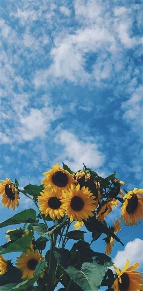 Sunflowers - Idea Wallpapers , iPhone Wallpapers,Color Schemes