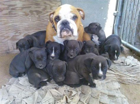 American Bullies puppies $ firm price puppies pitbull for