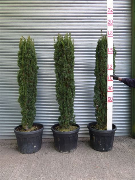 Irish Yew Trees For Sale | 6ft High Upright Yew | Taxus