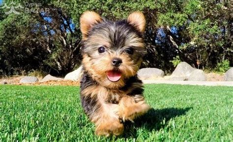 T-Cup Yorkie Yorkshire Terrier Puppies