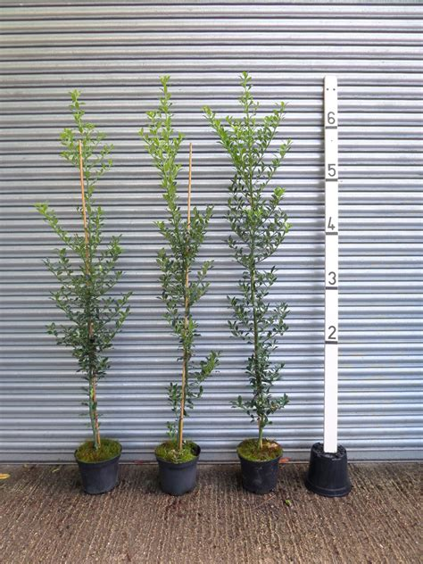 6ft Holly Hedge Plants For Sale Online | Buy Ilex