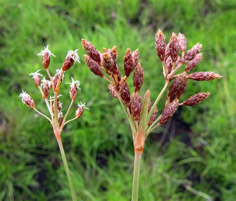 West African Plants - A Photo Guide - Fimbristylis