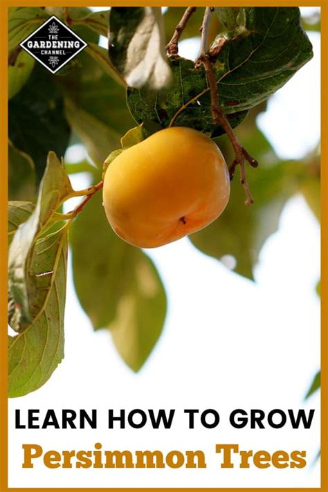 How to Grow an American Persimmon Tree - Gardening Channel