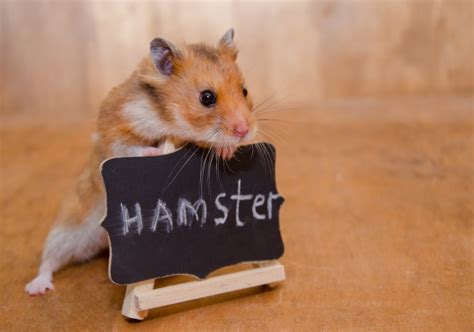 Hamsters   TFM Country Store & Hire