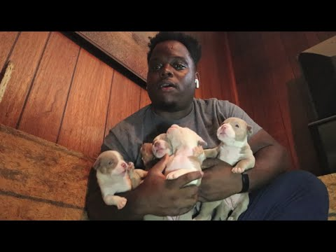 Ironclad breedings:: Pit bull puppies for sale, Champagne