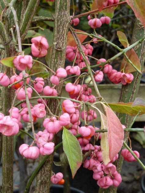 Spindle Hedging For Sale | Buy Direct From Our Nursery