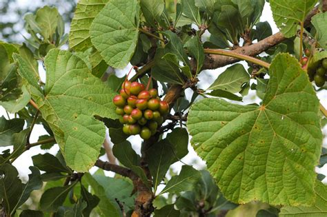 West African Plants - A Photo Guide - Ampelocissus