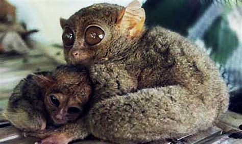 Tarsiers - The Big-Eyed, Ancient, Nocturnal Mammal