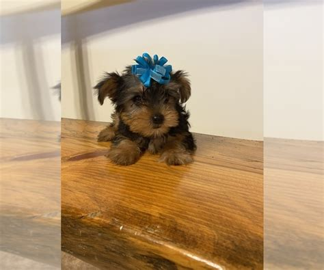 View Ad: Yorkshire Terrier Puppy for Sale near West