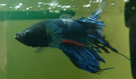 17 Best images about Sick Betta Fish on Pinterest